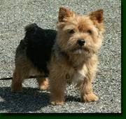 Norwich Terrier puppy for sale