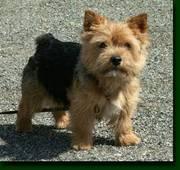 Norwich Terrier puppy for sale