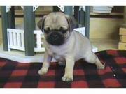 Adorable pug puppies available for good homes